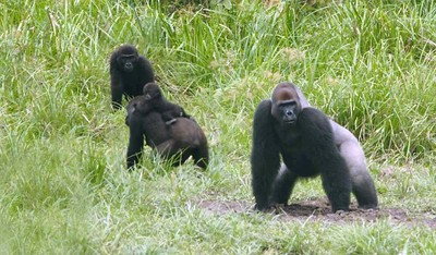 Gorilla family in ivindo np
