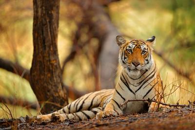 Tigerranthamboredreamstimem104334366