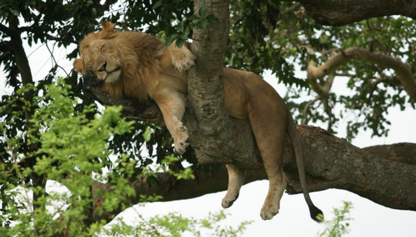 Ishasha  climbing lions