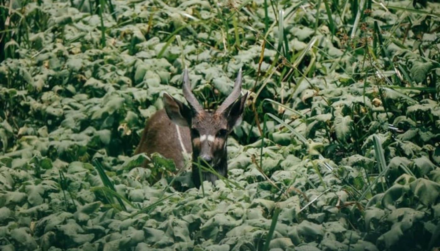 Lobeke antelope