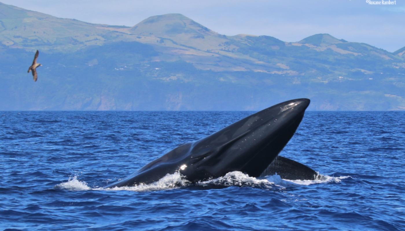 Whales pico 12