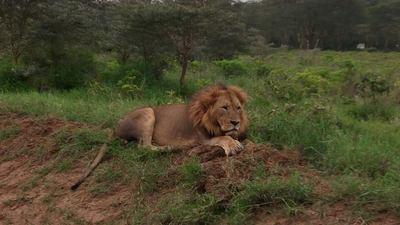 Lion c