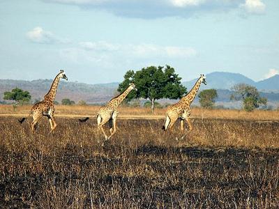 Giraffe mikumi 17