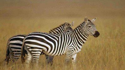 Two zebras 950x534