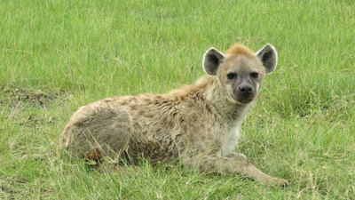 Hyena cab