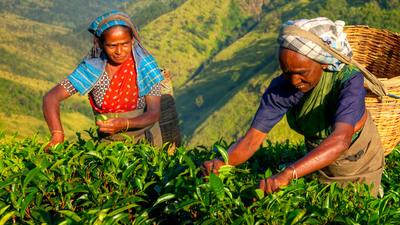 Assl sri lanka tea plantation local women is 12795593 lg rgb 2