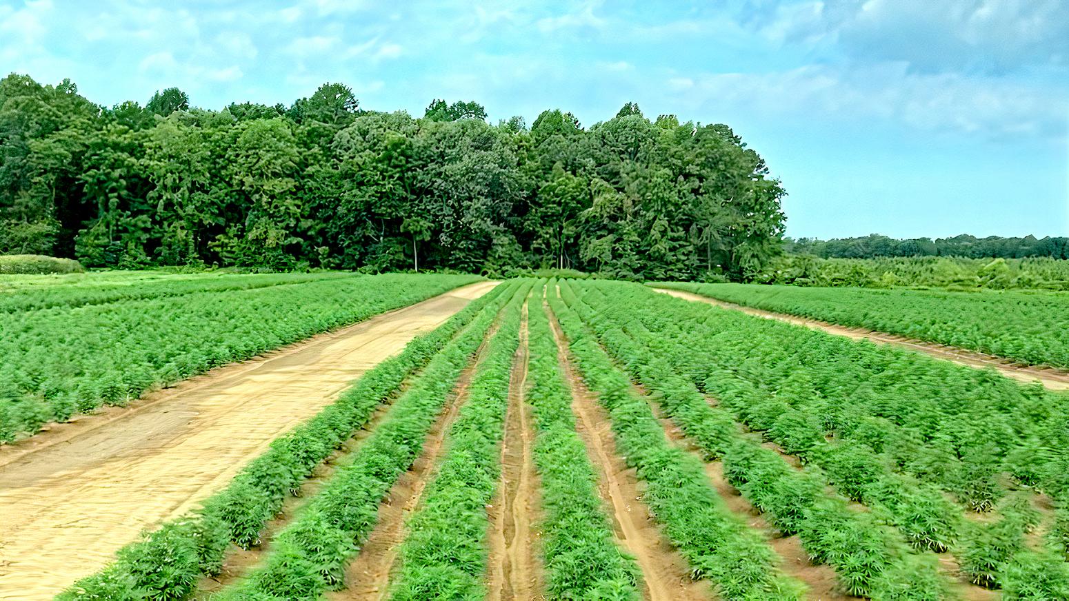 rows of hemp plants