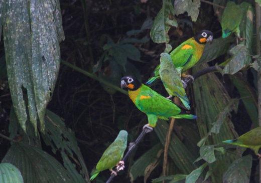 Amazon Jungle Parrots | Ecuador