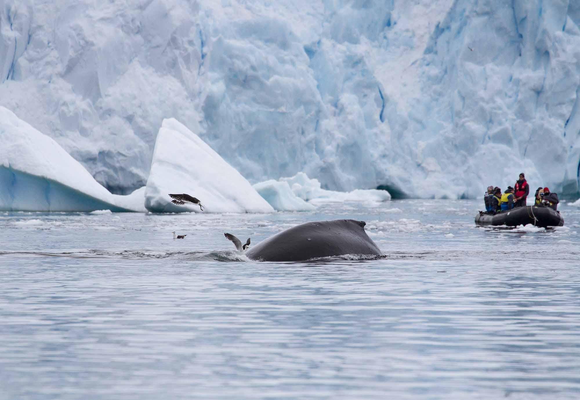 Zodiacand Whale | Antarctica