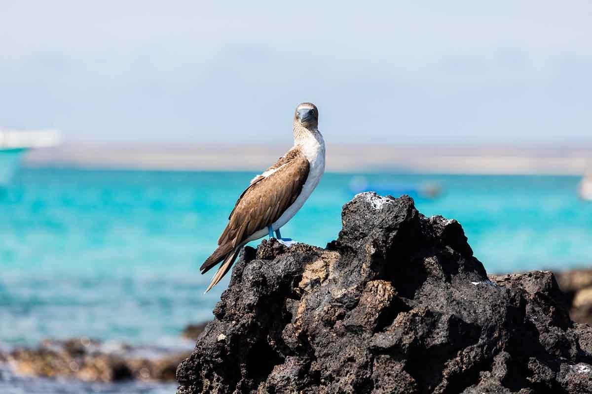 Baltra | Galapagos blue footed