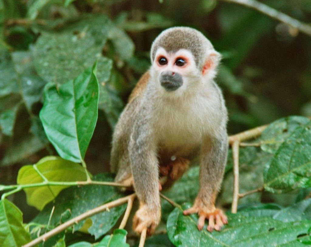 Deep Rainforest Monkey | Ecuador