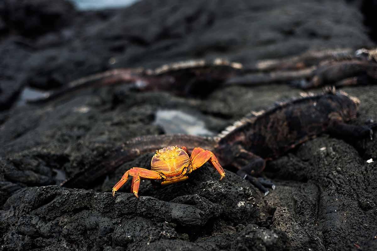 Egas Port | Galapagos | Crab