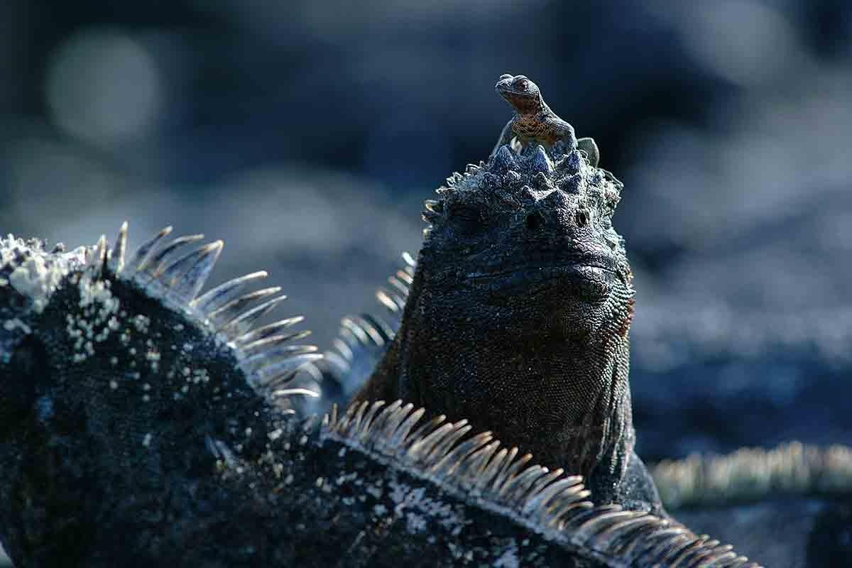 Galapagos marine iguana | South America Travel