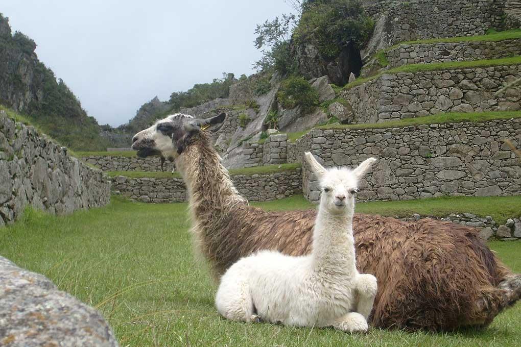 Machu Picchu   Llamas   Peru