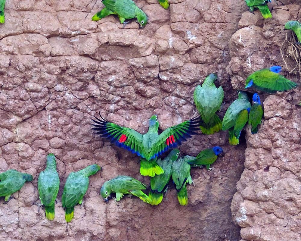 Amazon Birdwatching Tour