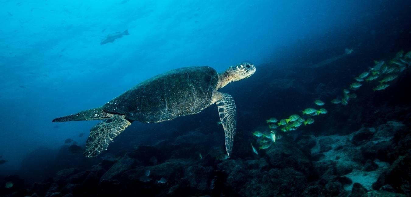 Sea Turtle | Galapagos | South America Travel