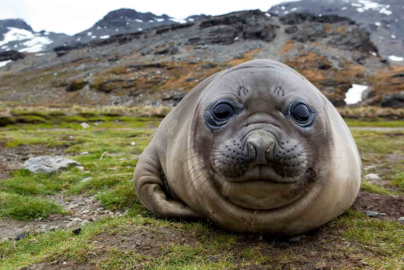 Elephant Seal   Antarctica