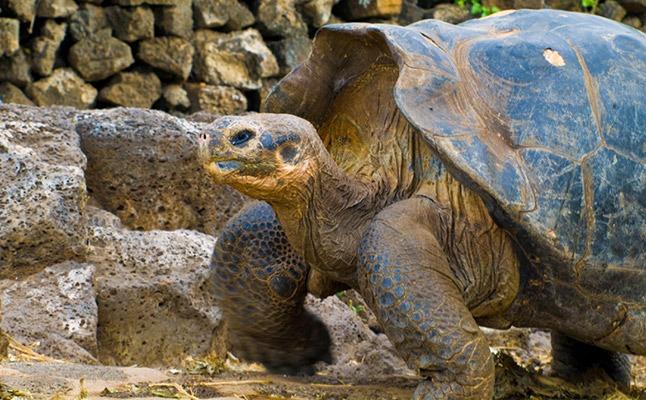 Charles Darwin Research Station | Galapagos tortoise