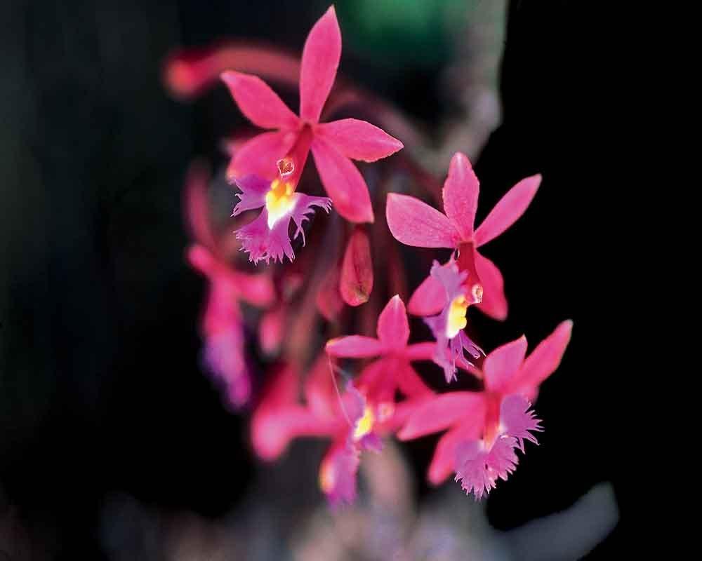 Puno Orchids   Peru
