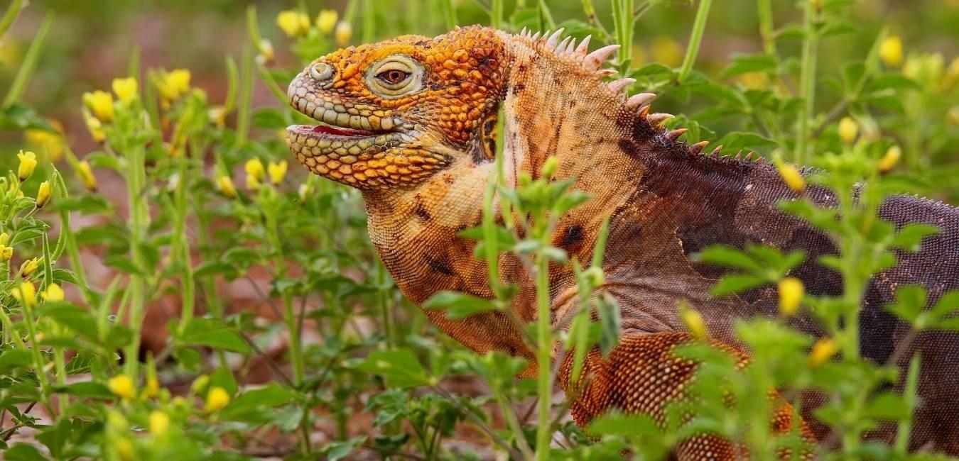 North Seymour Island | Galapagos land iguana | South America Travel