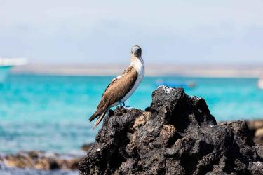 Baltra | Galapagos blue footed - Islas Galápagos