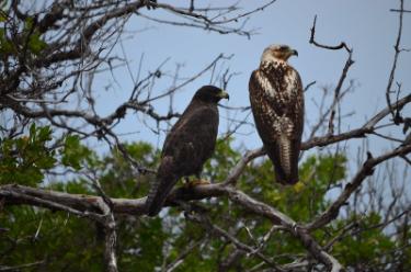 Santa Cruz Island | Galapagos Hawk - Islas Galápagos