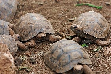 Galapagos tortoise - Islas Galápagos