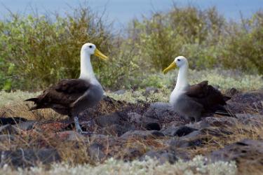 Española Island | Galapagos Albatross