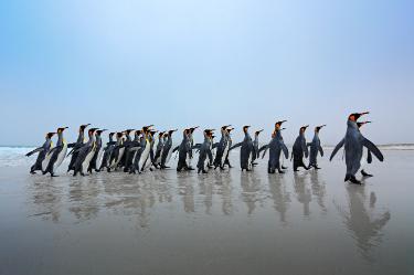 King Penguins | Antarctica | South America Travel