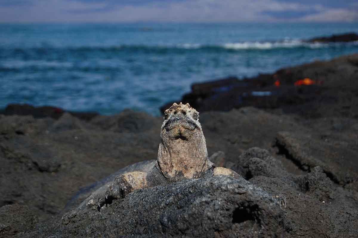 Fernandina Island   Galapagos marine iguana