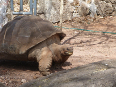 San Cristobal | Galapagos giant tortoise