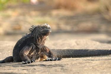 Galapagos marine iguana | Santiago Island - Islas Galápagos