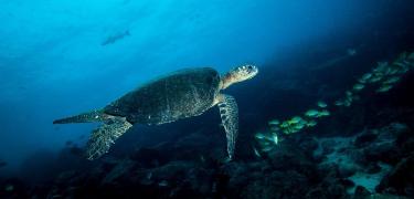 Sea Turtle | Galapagos