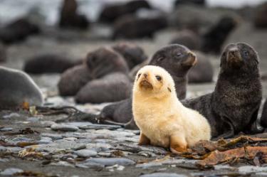 Albino Ful Seal | Antarctica