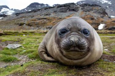 Elephant Seal | Antarctica