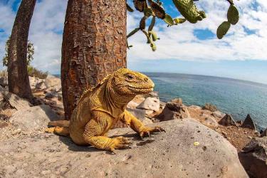 South Plaza | Galapagos land iguana - Islas Galápagos