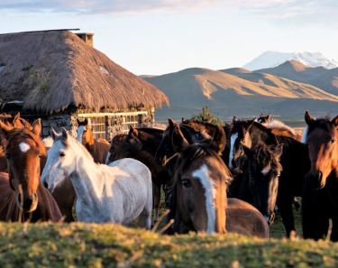 Cotopaxi Horses   Ecuador