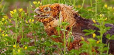 North Seymour Island | Galapagos land iguana - Islas Galápagos