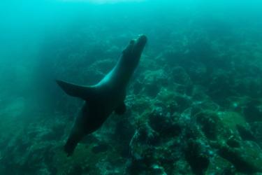 Galapagos North Seymour | Sea Lion - Islas Galápagos