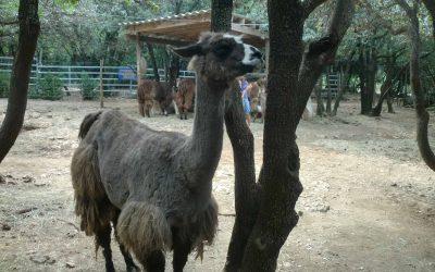 Lama's aaien in de Ardèche