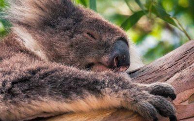 Koala's spotten in Australië: dit zijn de beste plekken!