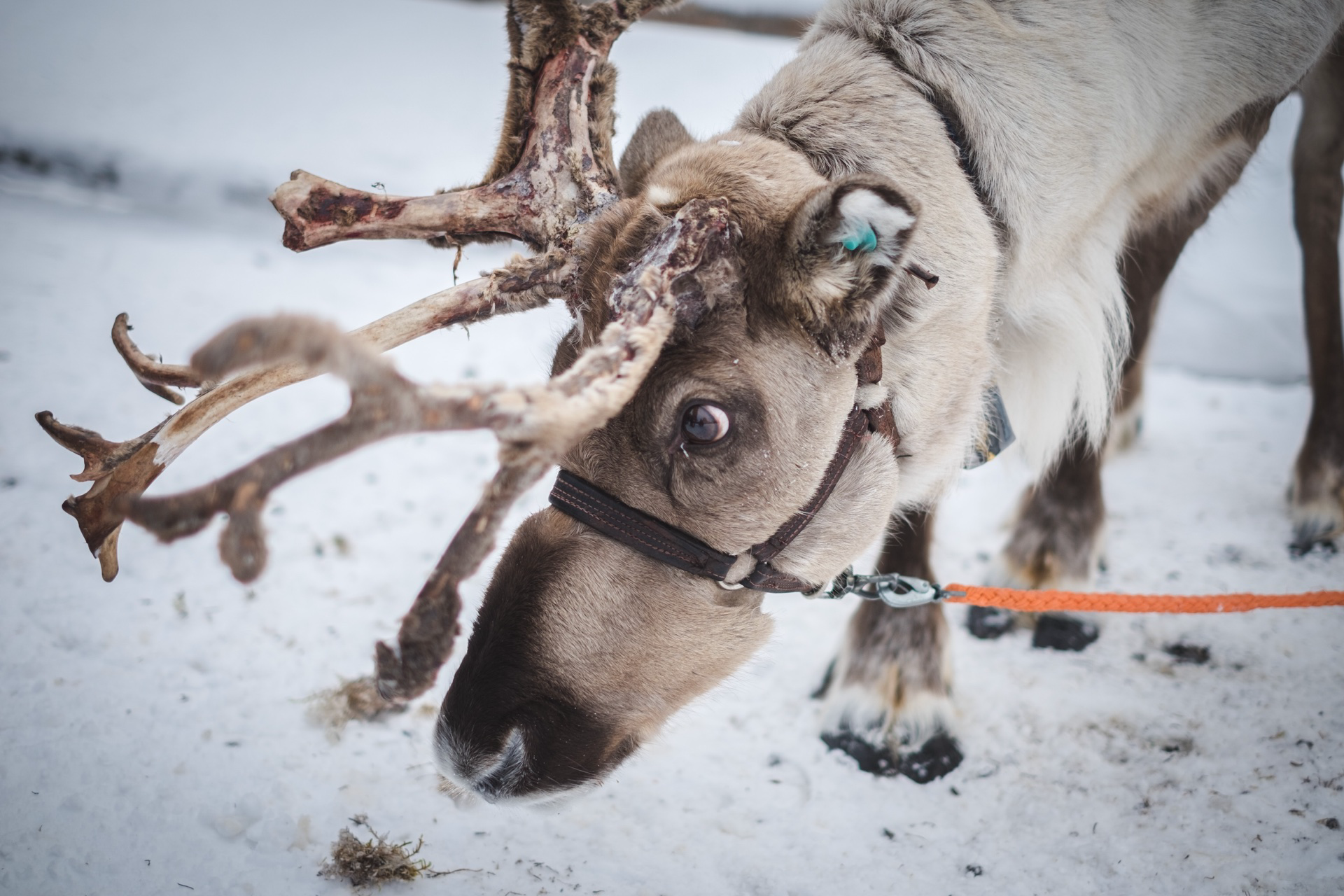 Get up Close and Personal With a Reindeer