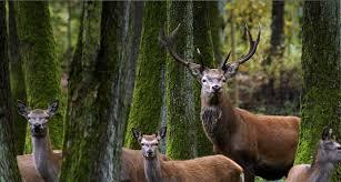 Hươu sinh sống tại vùng núi Altai Serbia.