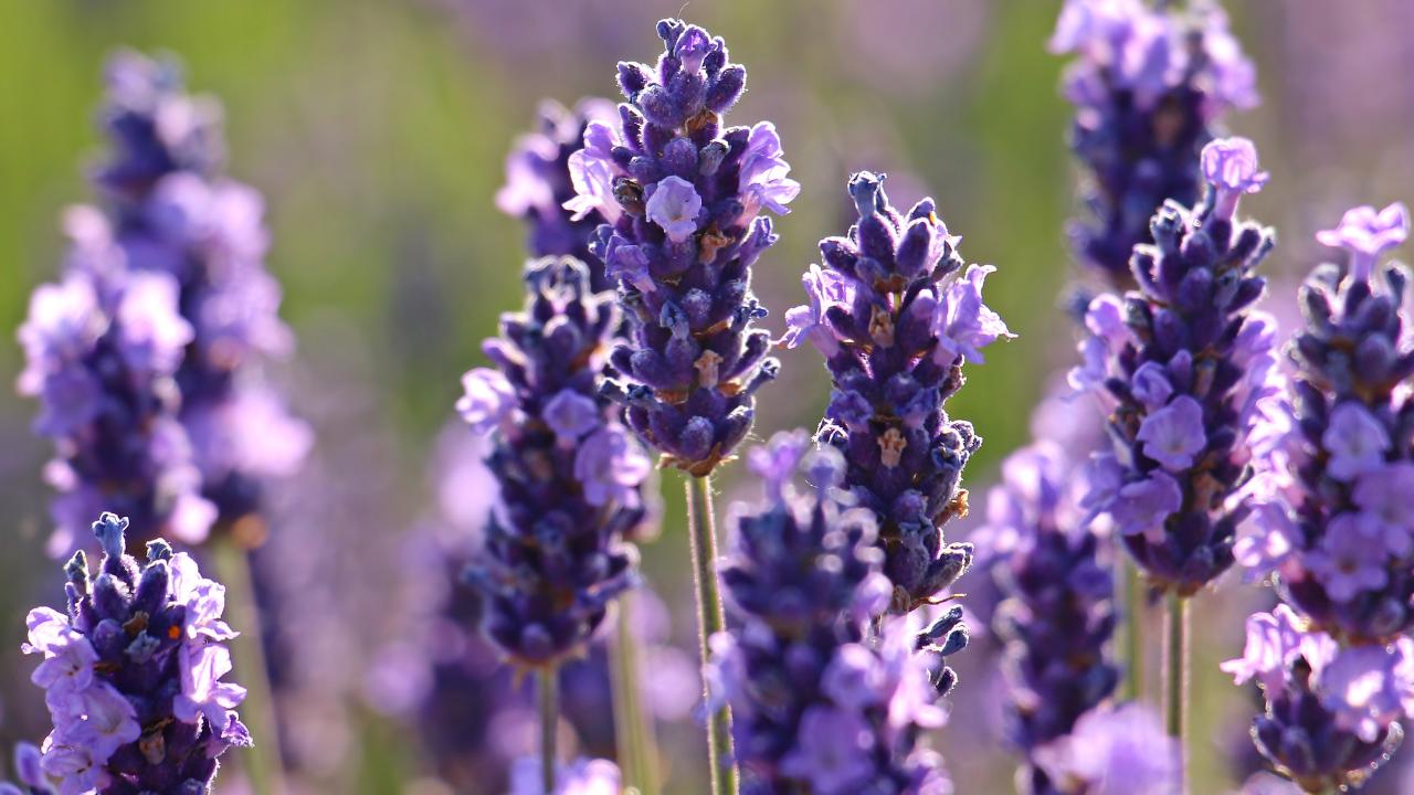 Blue Lavender flowers in a lavender field