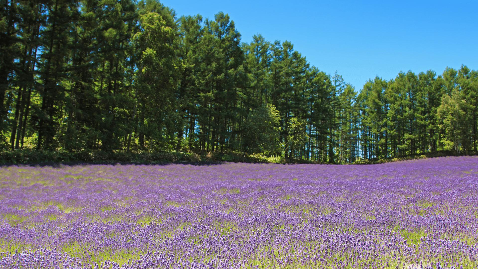 A sunny furano - Lavender Field