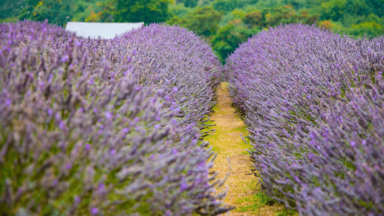 Bushy field of Lavender in Pink at Mayfield