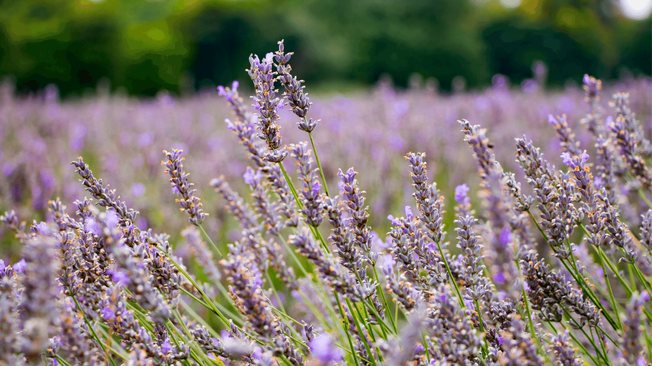 Fields of lavender on a sunny day in Mayfield, UK