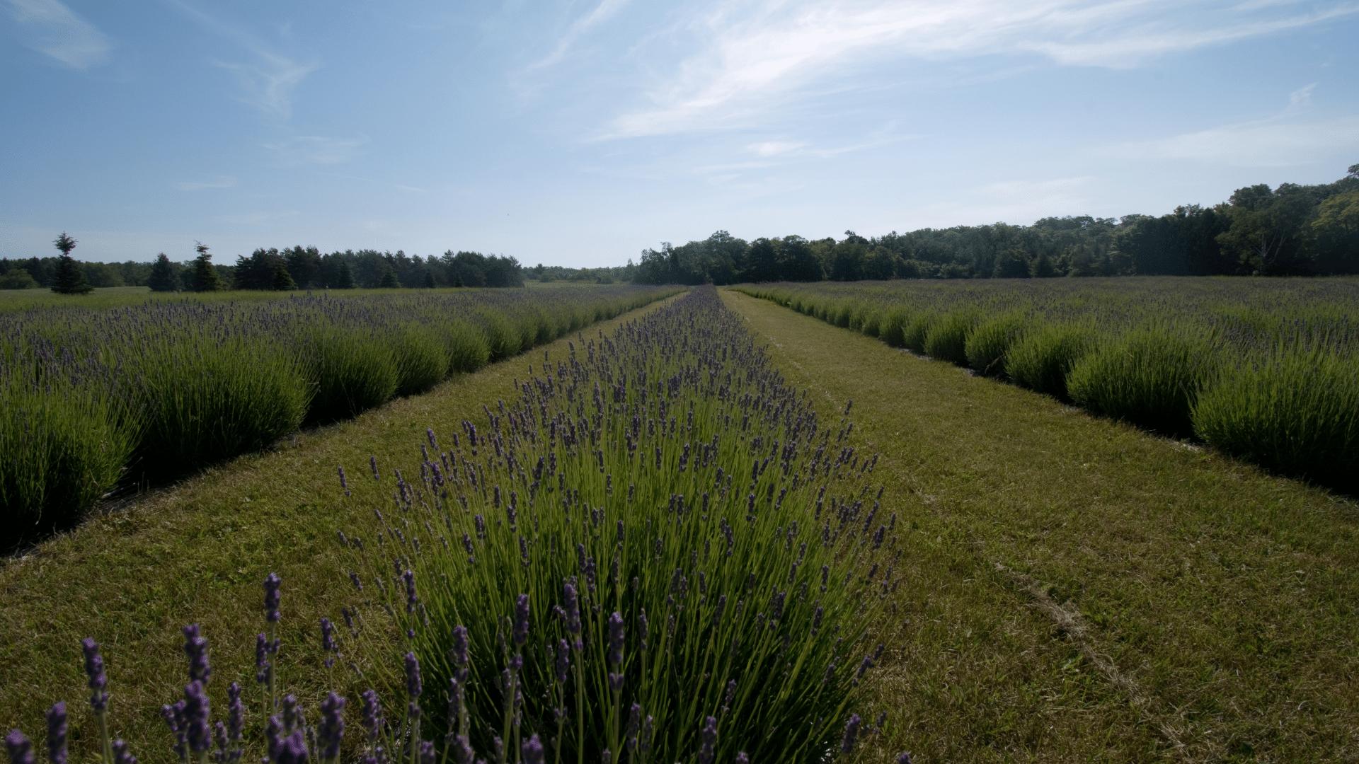 Sunny by a lavender field in washington Island