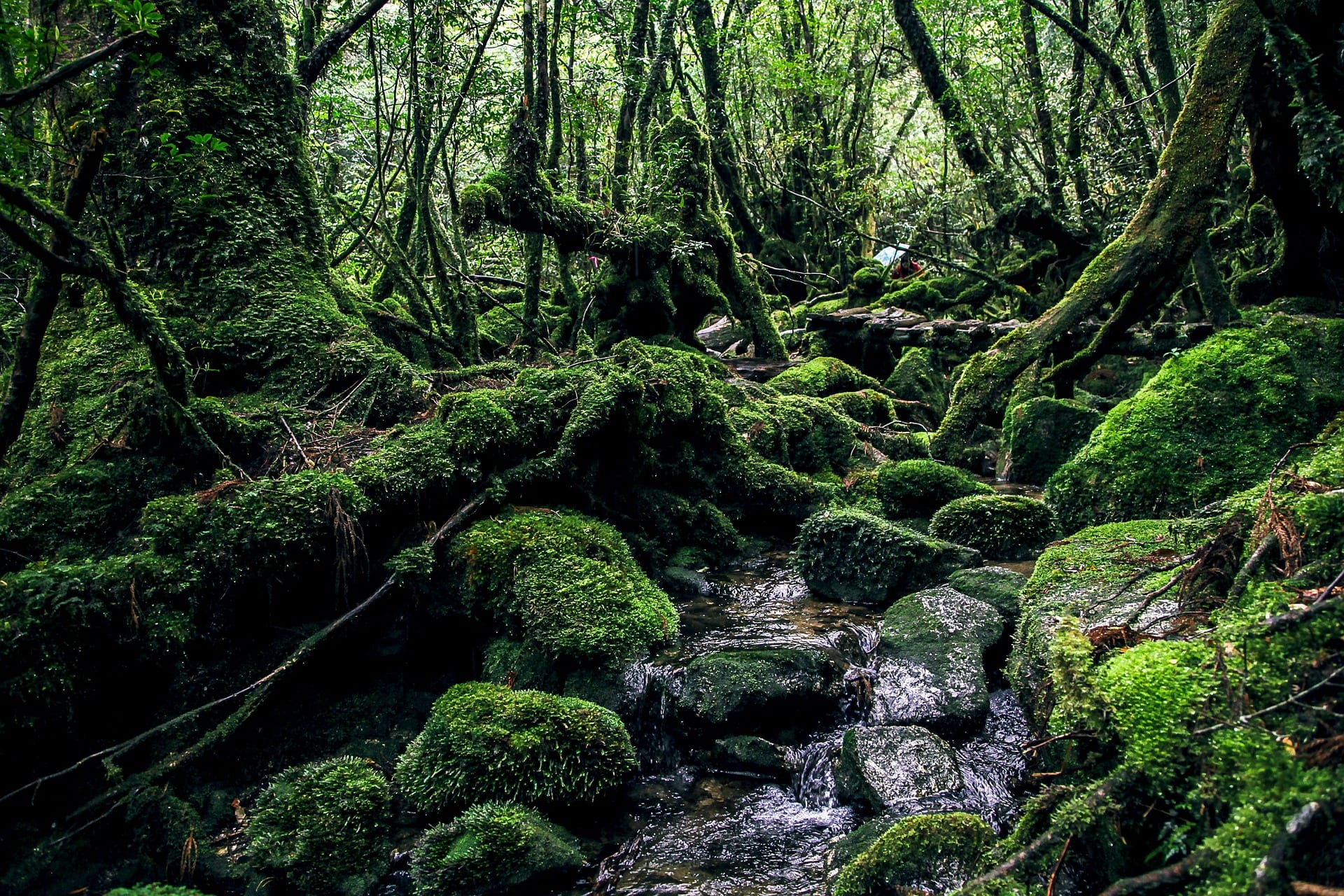 Yakushima in Japan - Forest with greens and passing stream of water