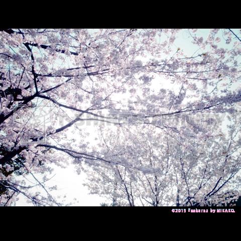 s a k u r a by MIKAKO
